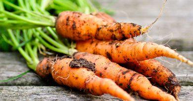 Frisches geerntetes Gemüse, Karotten.