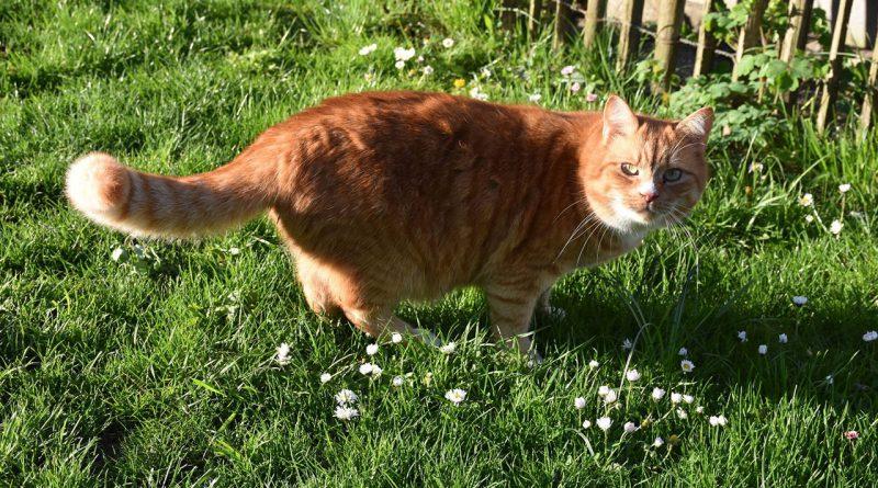 rote Katze im Garten.