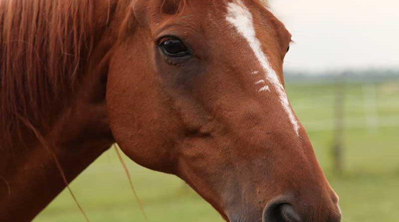 Pferde, Zuchtpferde und Pferdesport.