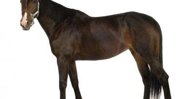 Gesundes braunes Pferd mit glänzendem Fell.